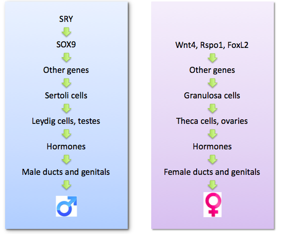 Male and female pathways